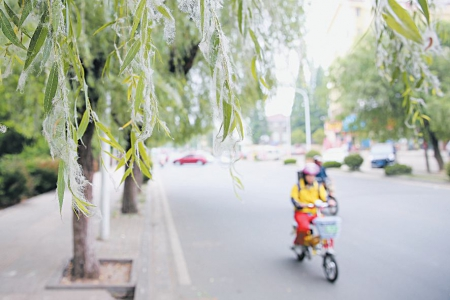 城区公园路一棵柳树上挂满了柳絮