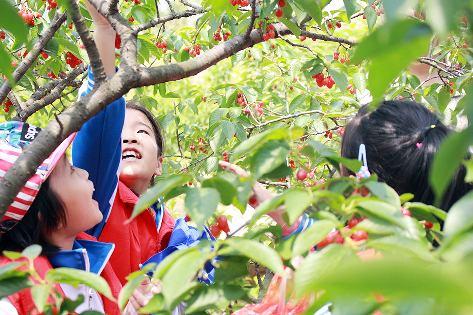 其中一名小记者告诉我们,要将自己亲手采摘的樱桃送给爷爷奶奶品尝.