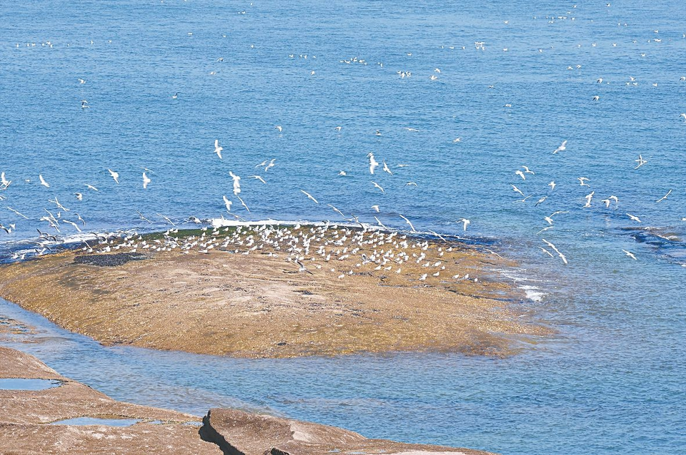 海鸥群聚日照灯塔风景区海域觅食