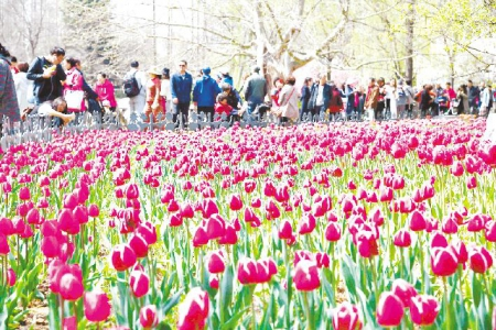 4月17日,在青岛中山公园,盛开的樱花吸引了众多市民欣赏.
